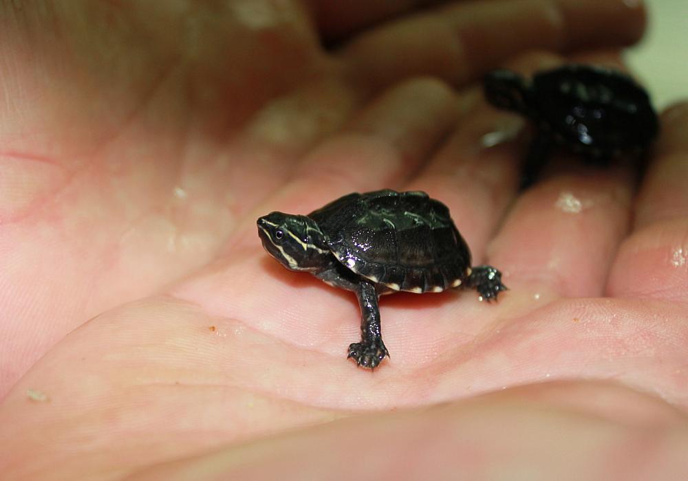 Можно ли сажать маленьких черепах к большим 3593